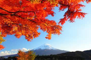 Mountain Fuji and maple tree