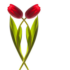 two tulip flower on a stem with leaves isolated on white backgr