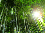 Fotoroleta Bamboo forest with sunlight