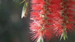 Flying bees nectar at Bottle brush tree flowersHD
