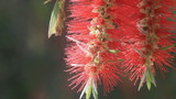 Flying bees nectar at Bottle brush tree flowers HD