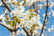 Spring cherry  flowers with bee