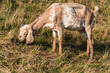Skinny light brown Nubian goat is eating grass