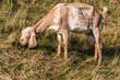 Skinny light brown Nubian goat is eating grass