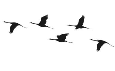 Crane flock