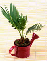Little Palm Chrysalidocarpus Areca