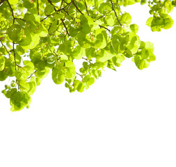 Fresh leaves of Tilia  isolated on white.  lime trees