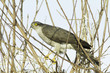 sparrowhawk, female / Accipiter nisus