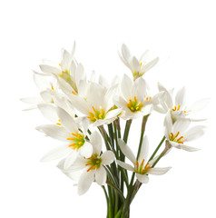 lilies isolated on a white. white rain lily