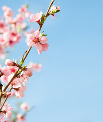branches with  pink flowers against the blue sky. Peach