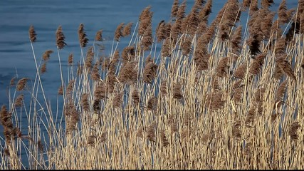 Common Reed (Phragmites) in the Pogoria III lake, Poland.