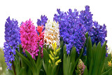Group of hyacinths on a white background. Panorama.