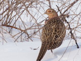 Common Pheasant female, Phasianus colchicus