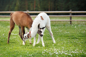 Two baby lamas playing together