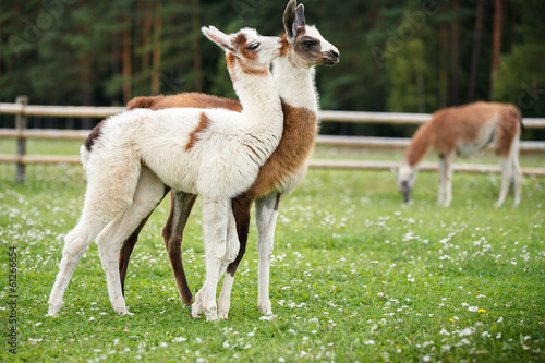 Foto op Plexiglas Lama Baby lamas playing together