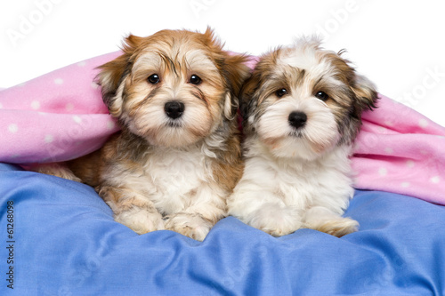 Two cute Havanese puppies are lying in a bed
