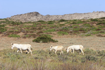 white donkey, resident only island asinara, sardinia italy