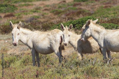 Aluminium Ezel white donkey, resident only island asinara, sardinia italy