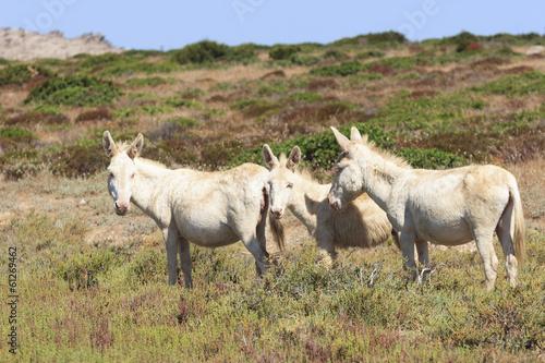 Fotobehang Ezel white donkey, resident only island asinara, sardinia italy