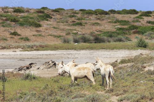 In de dag Ezel white donkey, resident only island asinara, sardinia italy