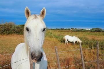 cavalli camargue francia