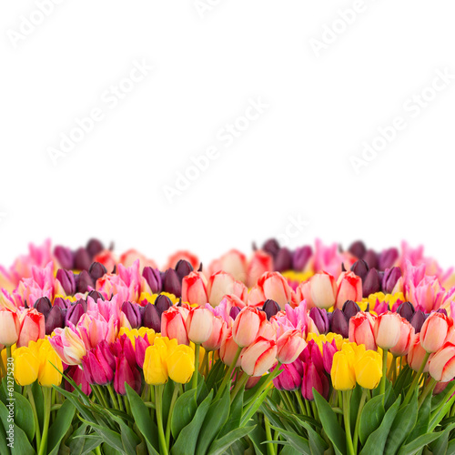 Bunch of tulips flowers  border