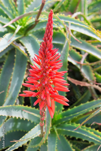 aloe arborescens flower