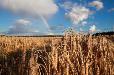 rainbow over summer wheat field