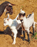 Goat and   two cute goatling outdoors