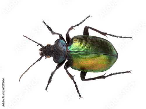 Forest caterpillar hunter (Calosoma sycophanta) on white