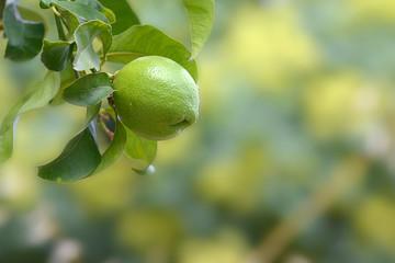 Limone appeso all'albero con foglie _2