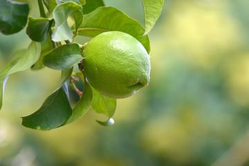 Limone appeso all'albero con foglie _1