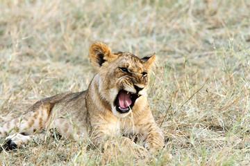 A baby lion yawning