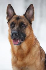 Portrait Shepherd with raised ears winter