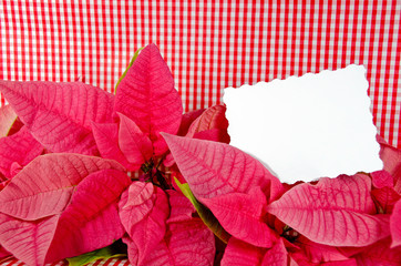 poinsettia flower on gingham