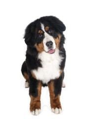 Berner Sennenhund on white background in studio