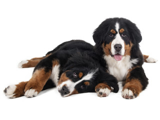 Berner Sennenhund on a white background in the studio, two puppi
