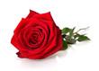 Prächtige, aufgeblühte Rose