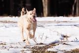Mutt of border terrier poster