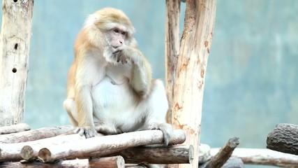 monkey sitting and eating insect in chiangmai zoo Thailand