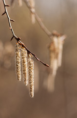 spring poplar