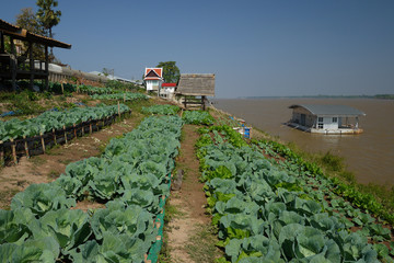 Chinese Kale vegetable near Mekong river 3