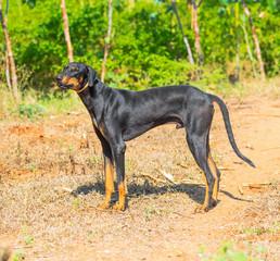 beautiful  big dog standing on outdoor