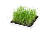 Green grass in a box on a white background