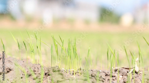 Rice Seedlings.