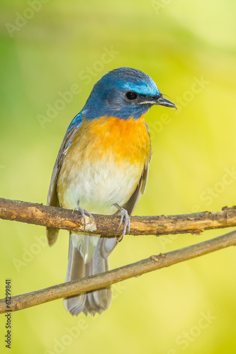 The portrait of Chinese Blue Flycatcher(Cyornis glaucicomans)