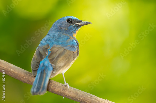 Chinese Blue Flycatcher turn to see us