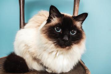 Birman cat on a chair