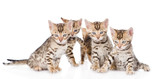 group bengal kittens looking at camera. isolated on white