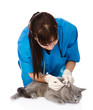 Veterinarian cleans ears cat. isolated on white background